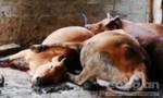 Hơn 10 con bò chết bất thường, nghi có kẻ đầu độc