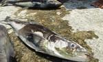 """Xác định gần 50 tấn cá lồng chết là do """"Thủy triều đỏ"""""""