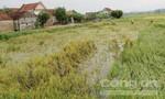 Trước hoàn lưu bão số 4, hàng trăm ha lúa mùa bị đổ ngã