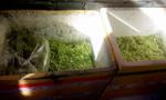 Thêm cơ sở ngâm rau muống vào hóa chất bị phát hiện ở Sài Gòn