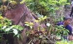 Chi cục Kiểm lâm khởi tố vụ phá rừng Sơn Trà gây xôn xao dư luận