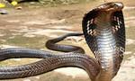 Rắn hổ mang khổng lồ bị vây bắt giáp Tết, nghi thuộc trong Sách đỏ