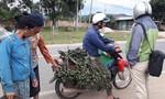 Người dân gom cau non bán đi Trung Quốc