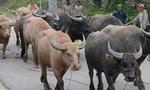 Bộ đội biên phòng tìm 9 con trâu bị mất trộm cho người Lào