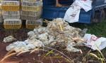 Bắt hàng trăm kg gà chết bốc mùi hôi thối trên đường vận chuyển