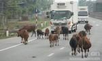 Bắt nhốt 30 con bò thả rông trên QL1A