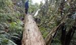 Vụ 189 cây pơmu bị đốn hạ: Khởi tố thêm 2 kiểm lâm