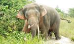 Đàn voi rừng xuất hiện ở Đồng Nai khiến người dân lao đao