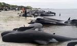 Bầy cá voi hơn 400 con mắc cạn trên bờ biển New Zealand