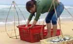 Ngư dân xứ Quảng được mùa cá trích