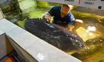 4 con cá mú nghệ nặng hơn nửa tấn về TP.HCM