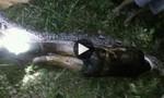 CLIP: Phát hiện thi thể người đàn ông trong bụng con trăn dài 7m ở Indonesia