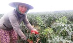 Ớt xuất khẩu đến ngày thu hoạch không có người mua