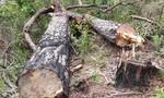 Lâm tặc đốn hạ hàng chục cây thông cổ thụ ở Lâm Đồng
