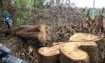 7 ha rừng tự nhiên bị cưa hạ