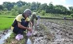 Ốc bươu vàng gây thiệt hại nặng cho người dân