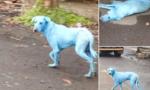 Những con chó màu xanh bí ẩn tại Ấn Độ