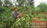 Gần 300 cây cà phê bị kẻ xấu phá hoại