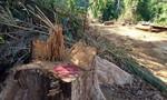 Bắt giam một giám đốc để điều tra vụ phá rừng phòng hộ