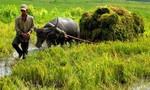 Kỳ 2: Người Việt ăn gạo ngoại