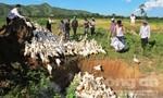 Tiêu hủy 2.500 con vịt bị cúm A/H5N6 ở Đắk Lắk