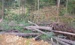 Khởi tố điều tra 2 doanh nghiệp phá rừng bằng thuốc độc