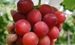 Cụ ông U70 Nhật bị bắt vì ăn trộm... một trái nho
