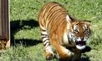 Hổ đuổi theo xe Jeep của du khách tại công viên hoang dã