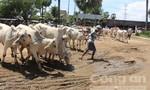 Độc đáo chợ bò vùng biên