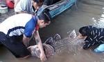 Cá hô vàng nặng 125 kg mắc lưới ngư dân ở Vĩnh Long