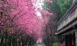 Thời gian và địa điểm ngắm hoa anh đào Hàn, Đài, Nhật lý tưởng nhất
