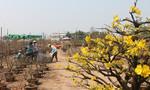'Thủ phủ' mai ở Sài Gòn tấp nập vào mùa