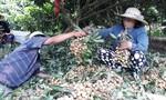 Nhãn Ido được mùa, giá cao, người trồng phấn khởi
