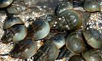 Thực khách suýt mất mạng vì ăn con so biển