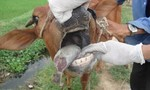 Hộ nghèo được hỗ trợ bò bị... lở mồm long móng