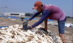 Điều tra vụ chế biến khoai mì bằng lưu huỳnh để làm thực phẩm