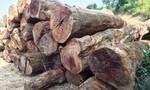 Công ty lâm nghiệp kéo 85m3 gỗ không có hồ sơ ra khỏi rừng
