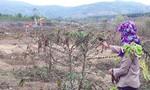 Vụ cà phê chết bất thường: Đền bù 400.000đ/cây, dân vẫn phản đối
