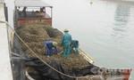 Bắt 5 tấn hào tuồn từ Trung Quốc về Việt Nam bằng đường biển