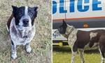 Chú chó 17 tuổi cứu sống bé gái 3 tuổi lạc trong rừng ở Úc