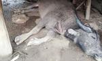Sét đánh chết 4 con trâu của một hộ nông dân