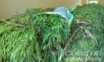 Con rể trồng hàng trăm cây cần sa trong vườn nhà cha vợ