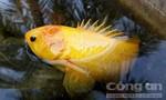 Người dân bắt được cá rô vàng hiếm gặp