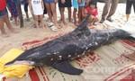 Trắng đêm giải cứu cá heo nặng 150kg bất thành