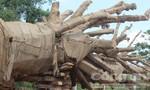 """Cấp phép vận chuyển 3 cây """"quái thú"""" trước ngày 15/6"""
