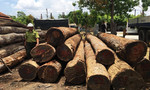 Truy nã 2 đối tượng trong đường dây của trùm gỗ lậu Phượng 'râu'