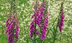 Những loài hoa đẹp nhưng cực độc ở châu Âu