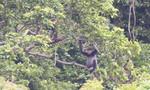 Quảng Nam tính mua lại rừng của dân cho đàn voọc chà vá sinh sống