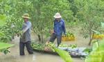 Hàng ngàn cây cam bị ngập, chết héo trong nước lũ