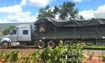 Tạm giữ xe đầu kéo chở cây đa 'khủng' từ Đắk Lắk ra Hà Nội